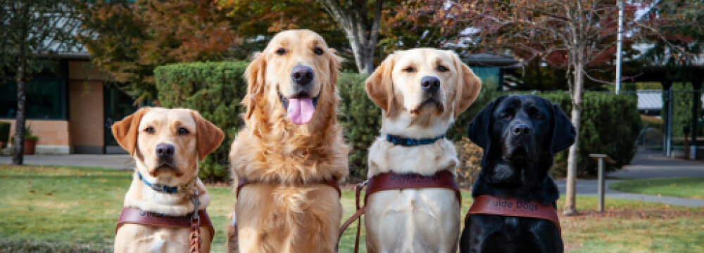 Four guide dogs sitting on a line in their harnesses.
